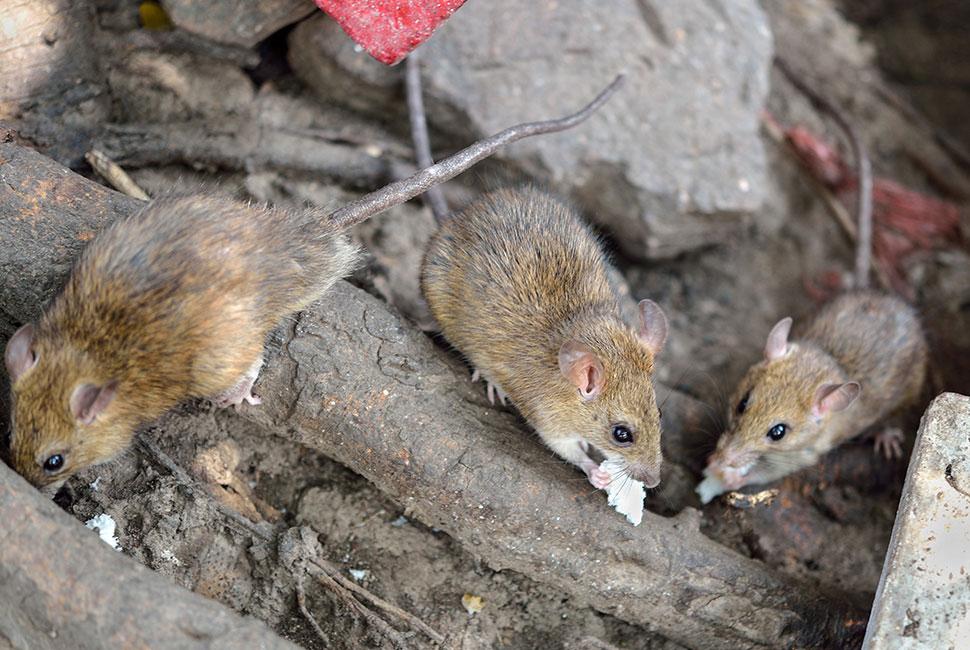 Se débarrasser des rats avec abattu et biorepul's