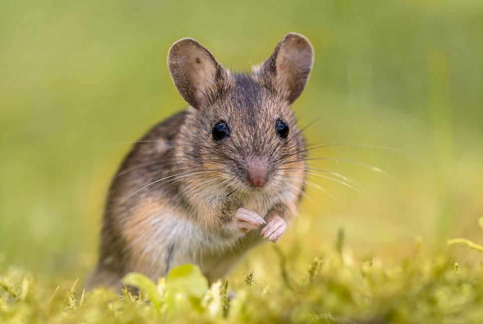 En finir avec les rongeurs, souris domestiques